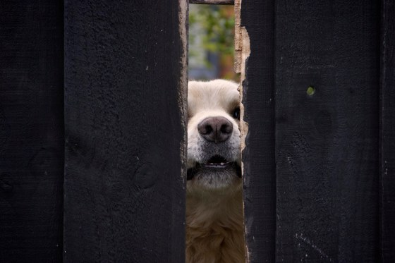 photo pf a dog sticking its nose through a wooden fence