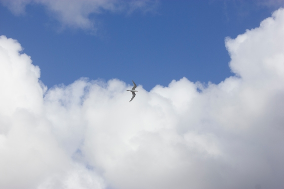 Photo of a gull-billed tern soaring high in the blue cloudy sky
