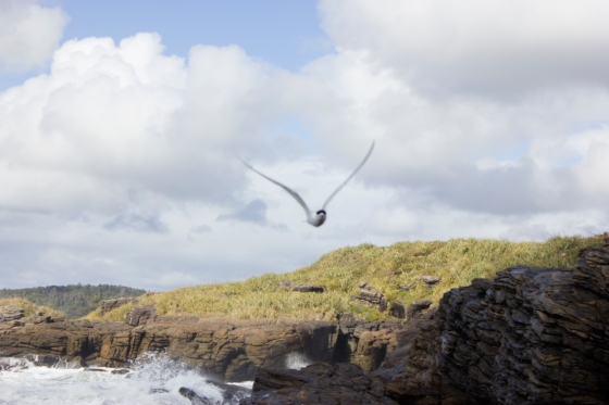 photo of a gull-billed tern flying towards the camera