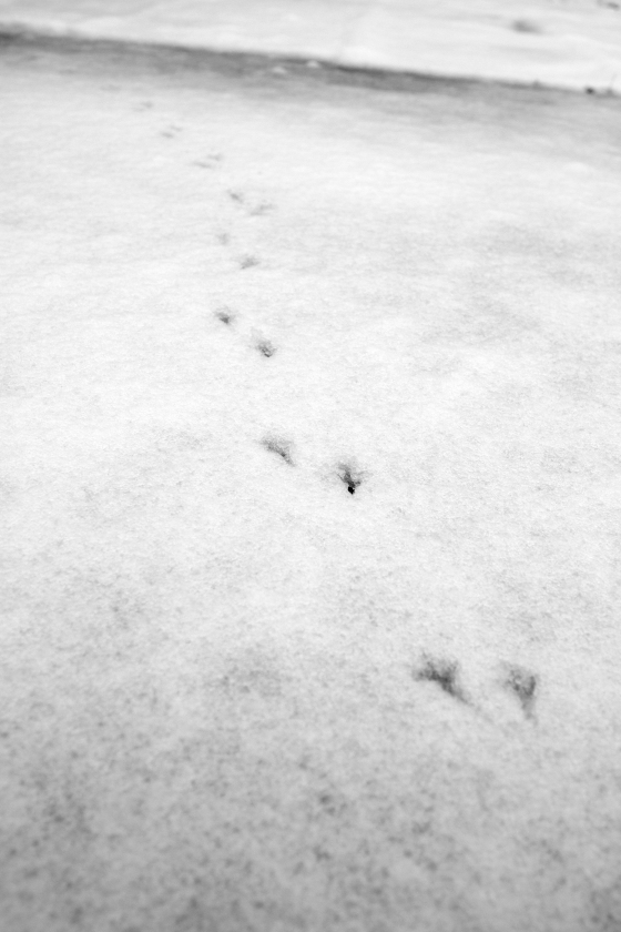 photo of a bird's footprints in snow