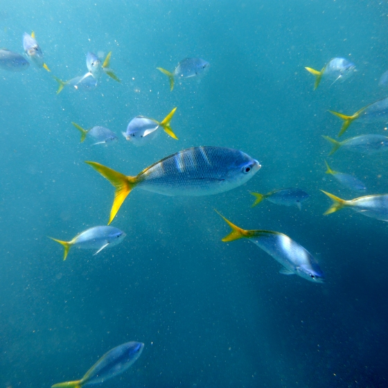 underwater photo of a school of fish with yellow tails