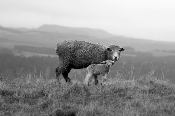 photo of a ewe with her lamb