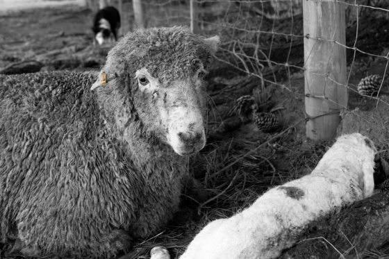 a photo of a ewe and her newly born lamb, a sheep dog is lurking in the background